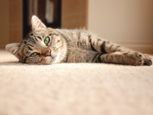 Pet Stain Carpet Cleaner - On The Spot Cleaning Services